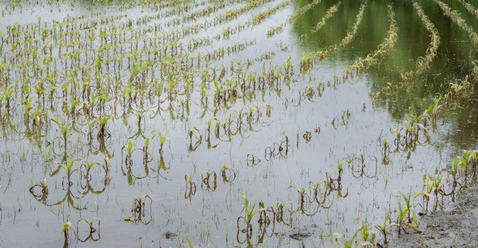 flooded oklahoma corn field