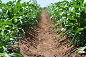 row of corn in breeding trial