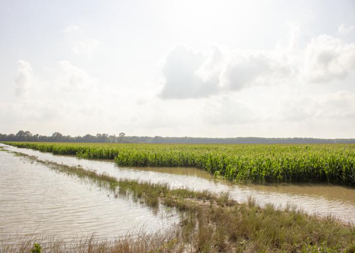 flooded mississippi corn