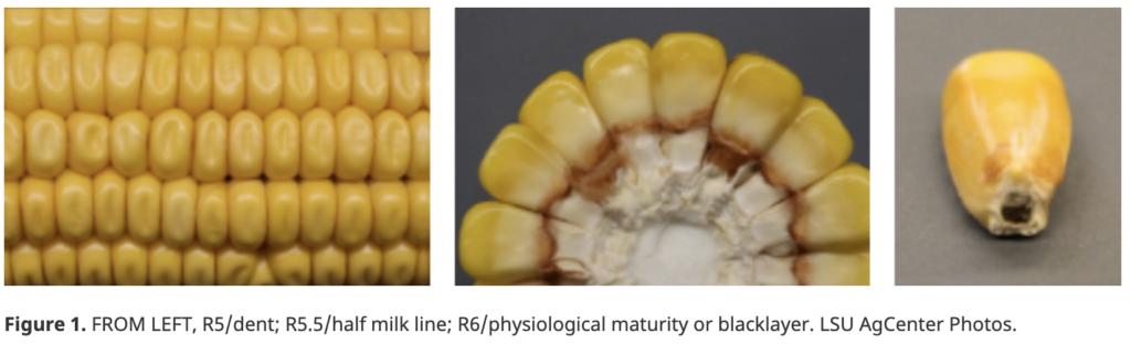 corn kernel fill