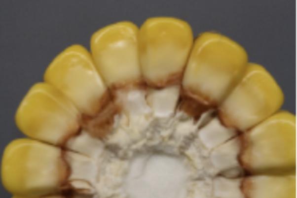 corn kernel maturity